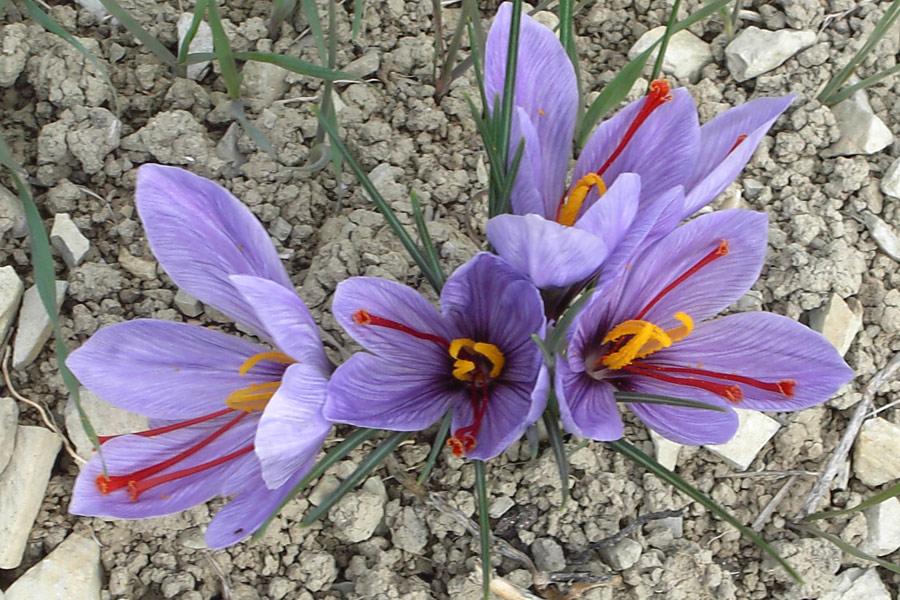 il-fiore-dello-zafferano