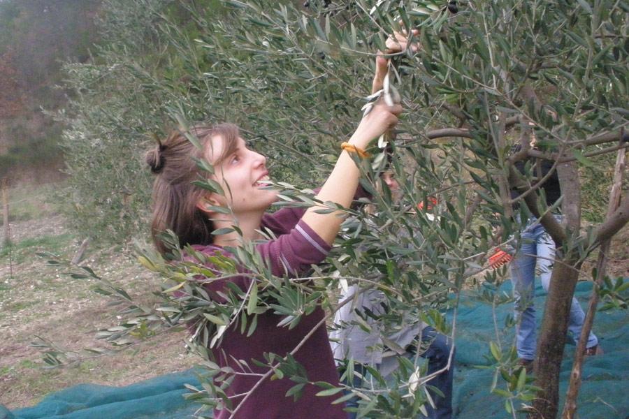 raccolta-olive-marta