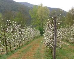 alberi-in-fiore
