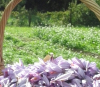 cesto-di-fiori-di-zafferano