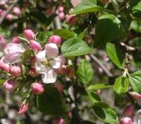 germogli-fiori