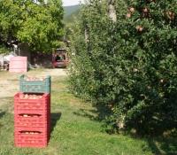 raccolta-mele